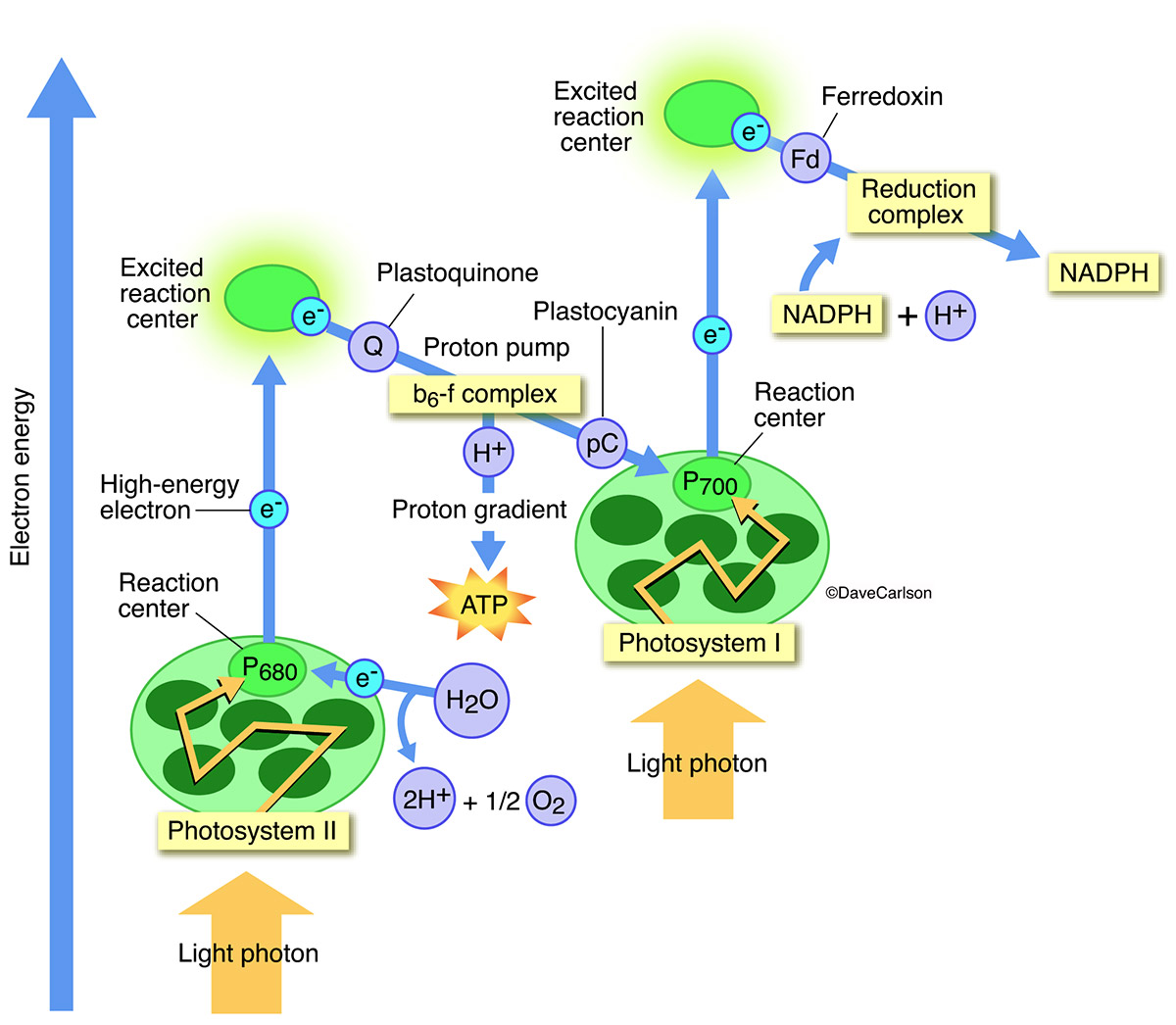 diagram with inputs and outputs of photosynthesis process western unimount wiring carlson stock art