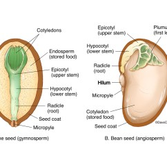 Bean Seedling Diagram Panel Wiring Seed Structure Pine Schematic Life Cycle Comparison Of U0026