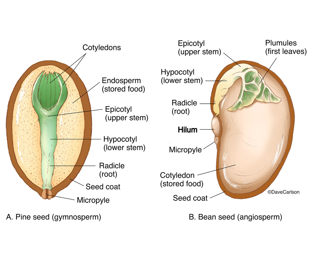 hight resolution of comparison of pine bean seed structure carlson stock art bean structure diagram