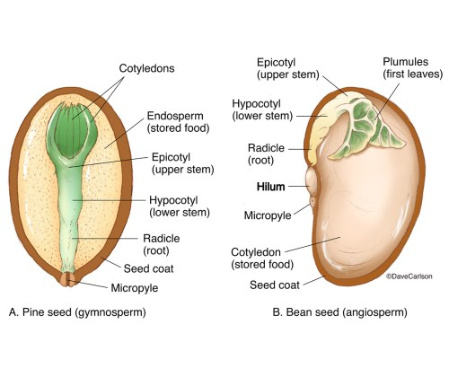 small resolution of comparison of pine bean seed structure carlson stock art seed structure diagram pine