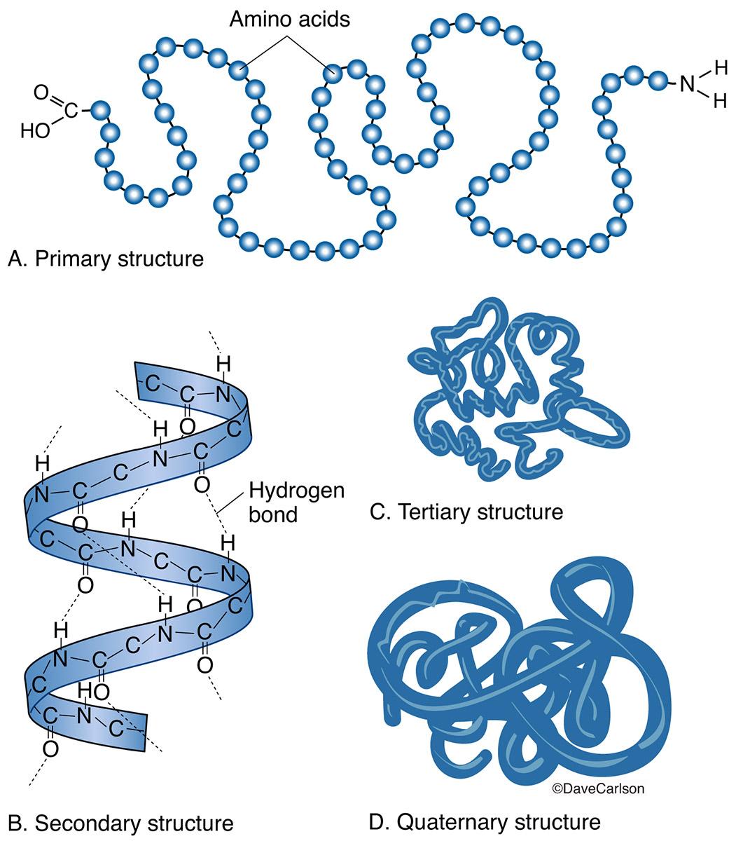 peptide structure diagram simple dual alternator wiring protein molecule carlson stock art
