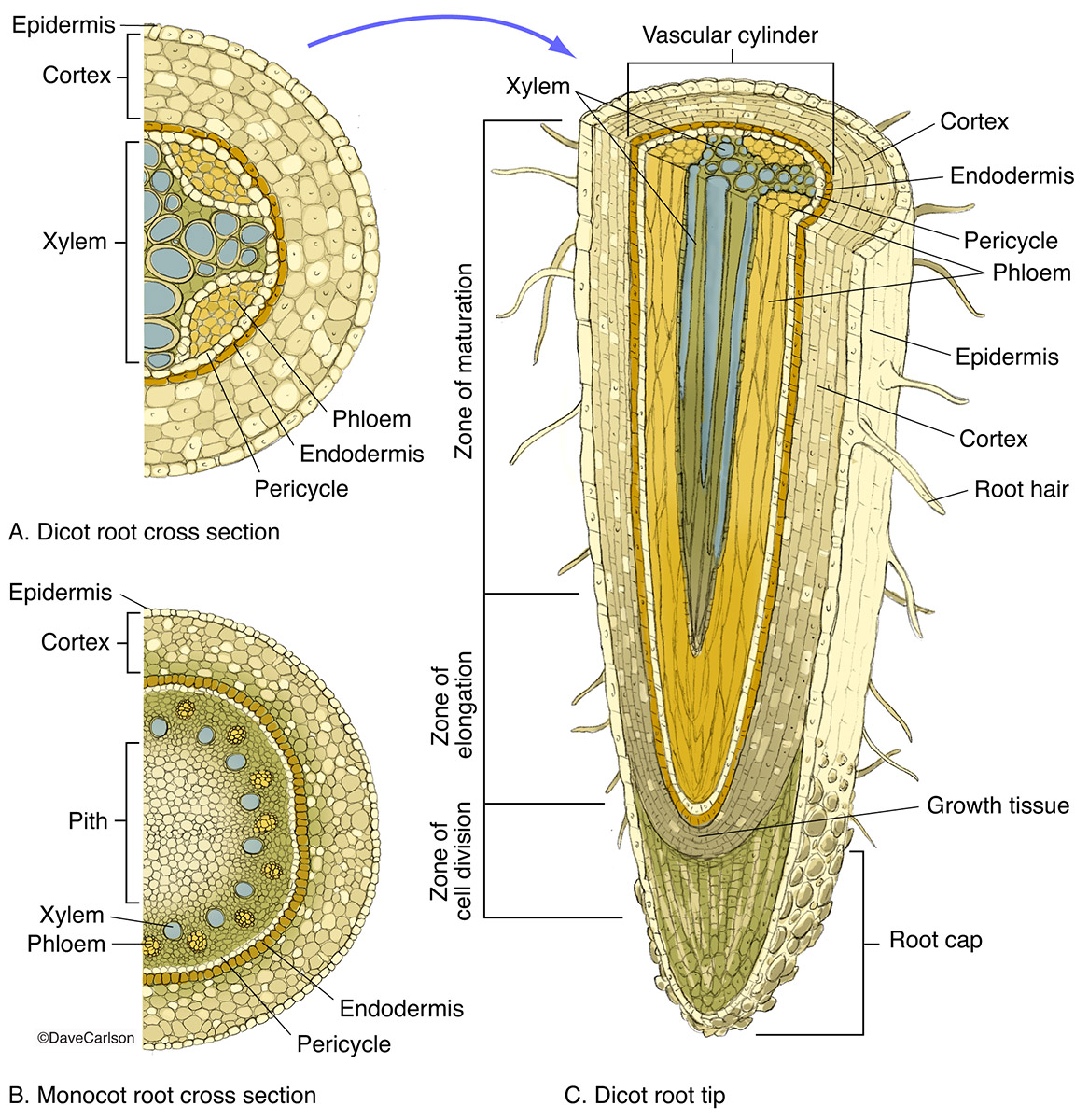 Root Structure