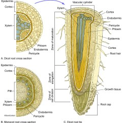Corn Anatomy Diagram Asco Solenoid Valve Wiring Cross Section Of Monocot Root Stem