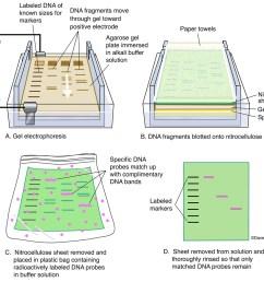 diagram gel electrophoresis procedure reveals information about dna identity size and quantity  [ 1200 x 1021 Pixel ]