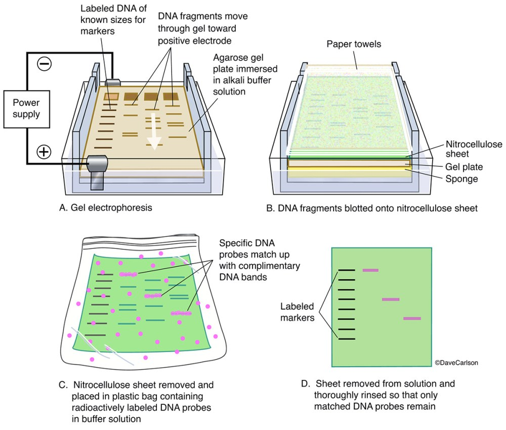 medium resolution of diagram gel electrophoresis procedure reveals information about dna identity size and quantity