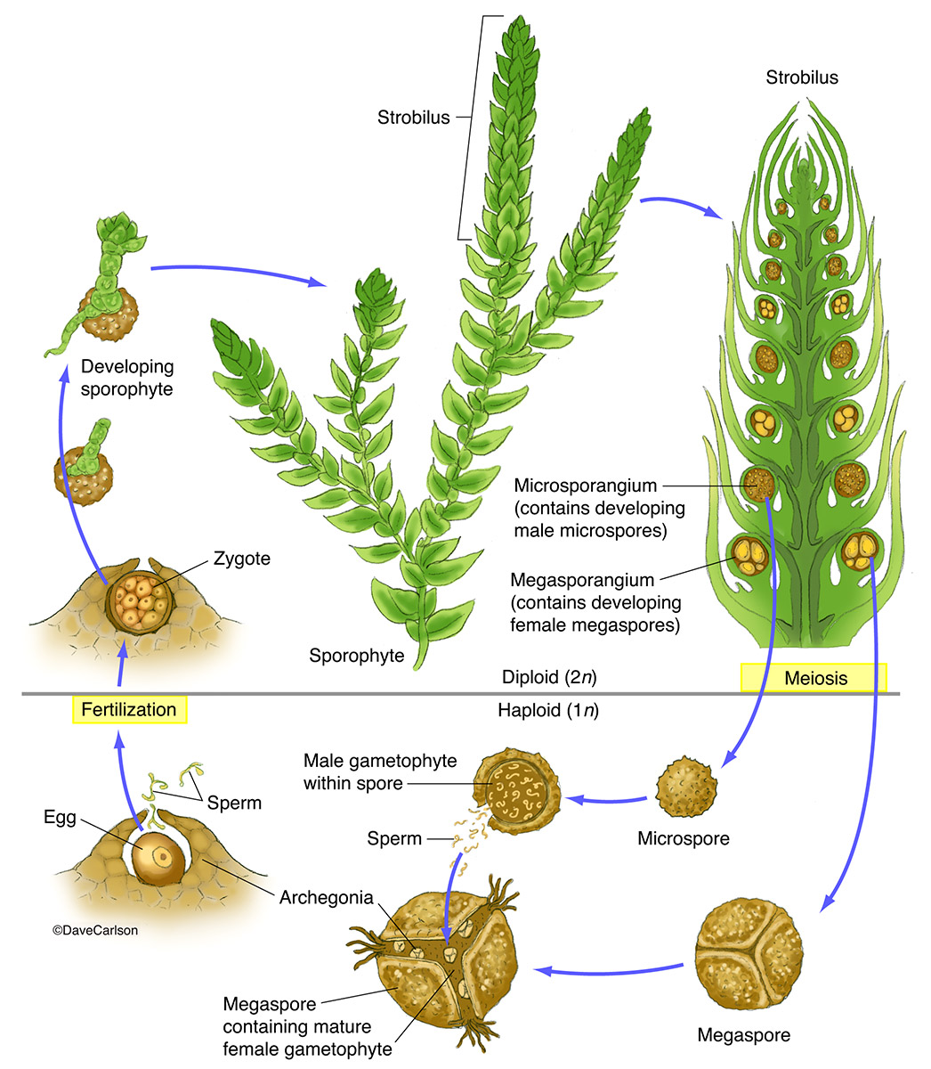 life cycle of moss plant diagram cat6 wiring 568a spike selaginella structure and