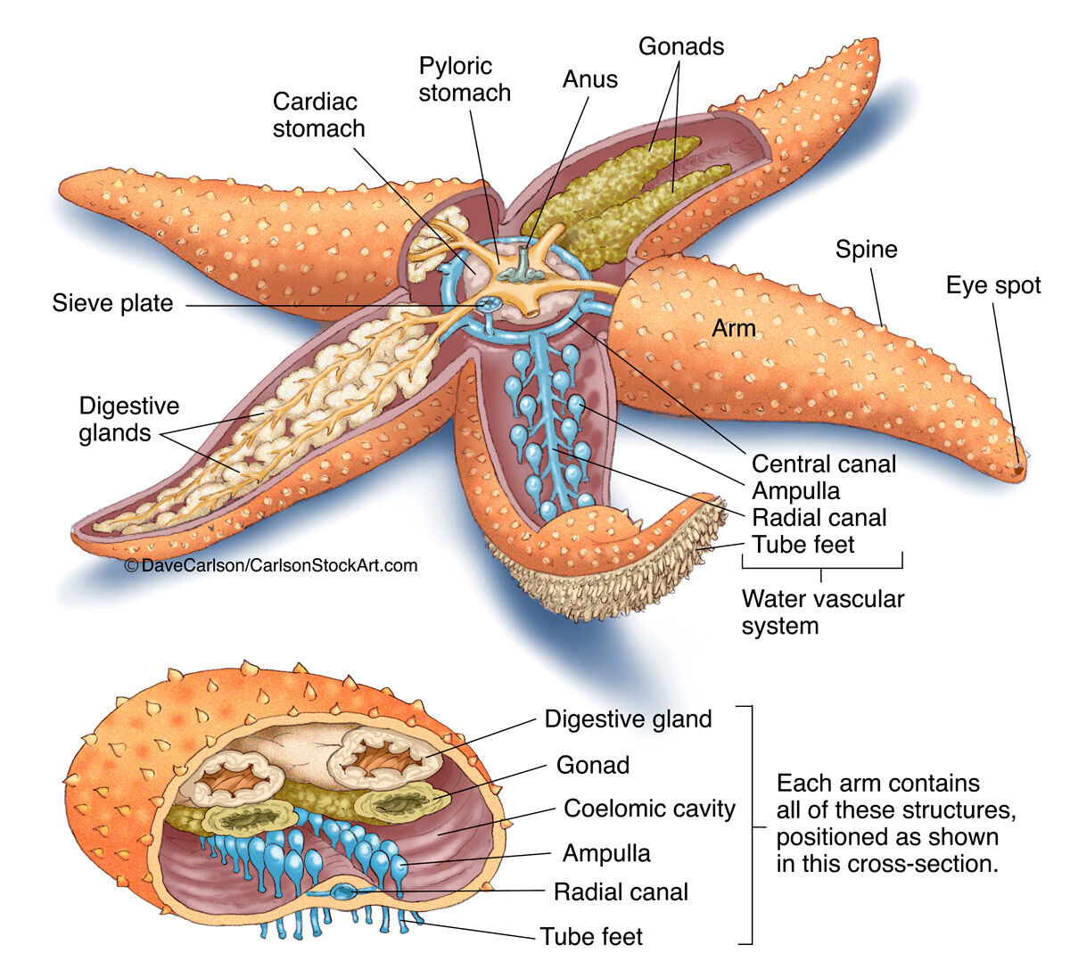 hight resolution of sea star stomach diagram