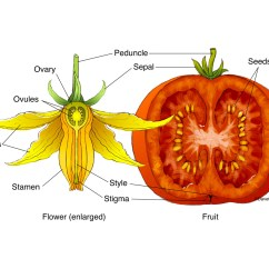 Parts Of An Orange Fruit Diagram 1996 Chevy Silverado Radio Wiring Tomato Flower And Structure Carlson Stock Art
