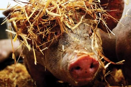 Pig_720x480_low