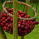 cherries in a basket