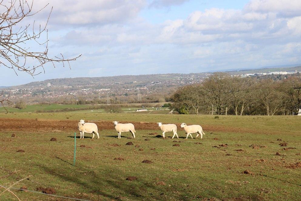 Priory-4-sheep-dk