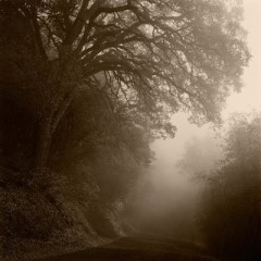Trees in Fog, Lotus, CA 2008