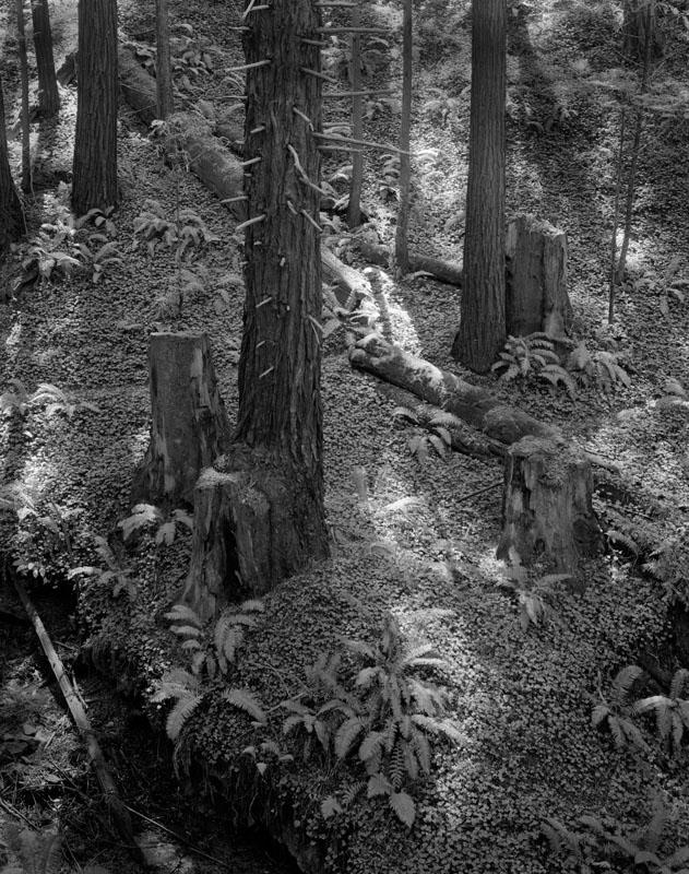 Redwood Grove, Old Coast Road ©Alan Ross