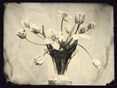 tulips-1_t479