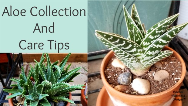 Aloe Collection and care tips - Carmen Whitehead