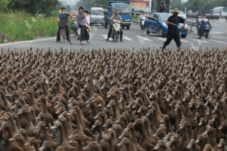 Ducks block road in China