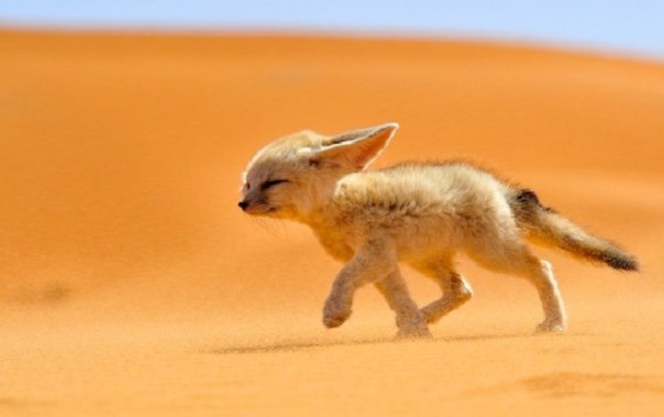 fox-africa-2