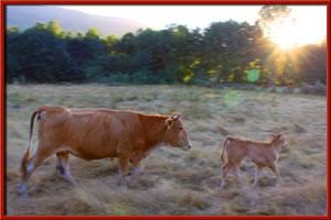 carniceria online carballada vacas pastando entorno rural