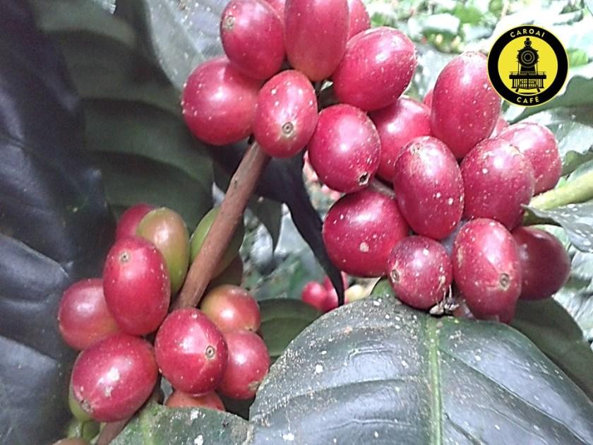 Puedes visitar en Táchira los cultivos de Caroai Café y observar las cerezas de café del cultivo.