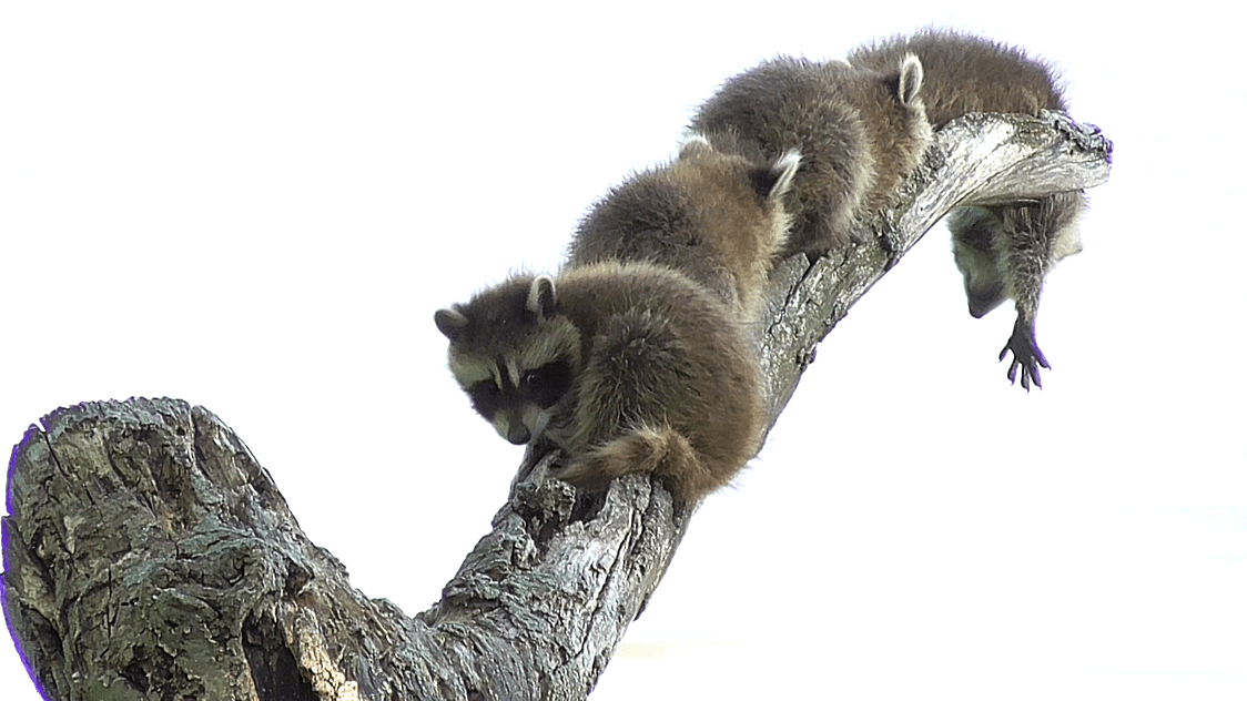 Hang On Tight, Raccoon Kit