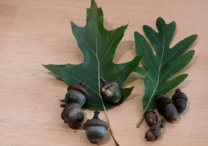 Shows red and white-oak leaves and acorns