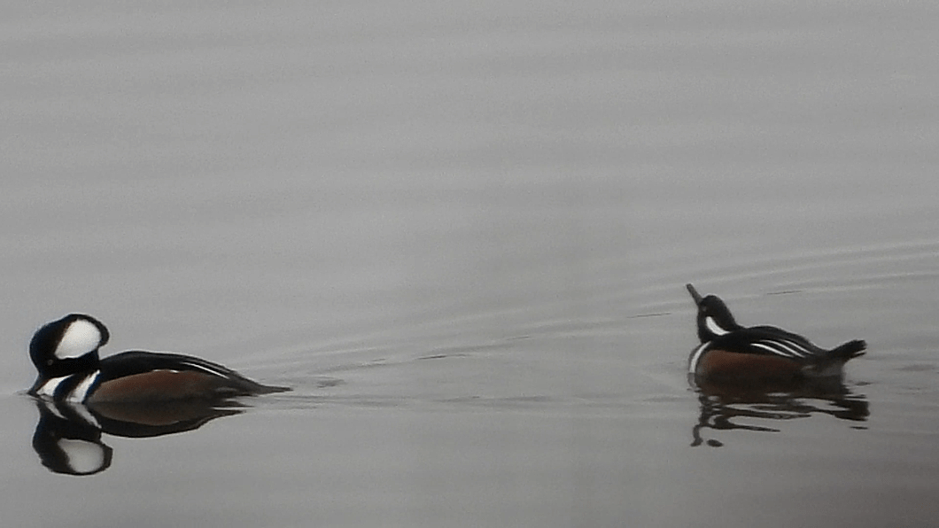 Hooded Mergansers with crest raised and at rest
