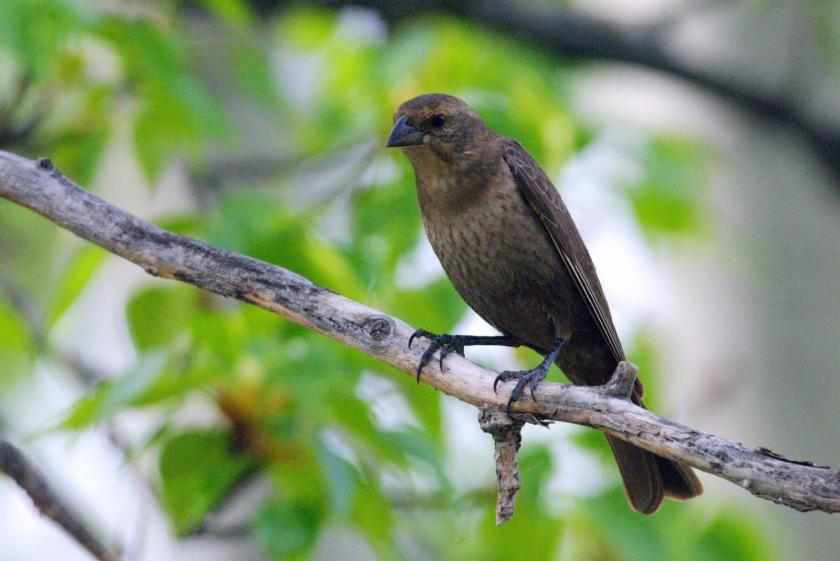 Female Brown-headed Cowbird perched on a branch