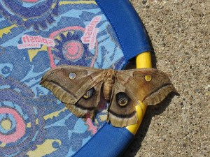 Moth on a pool toy, showing its transparent eyespots.