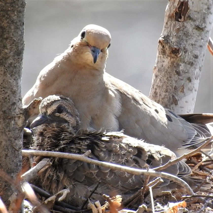 Mourning Dove with chicks in nest