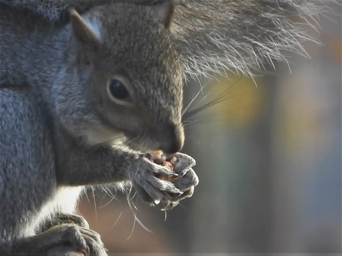 The All-You-Can-Eat Squirrely Buffet
