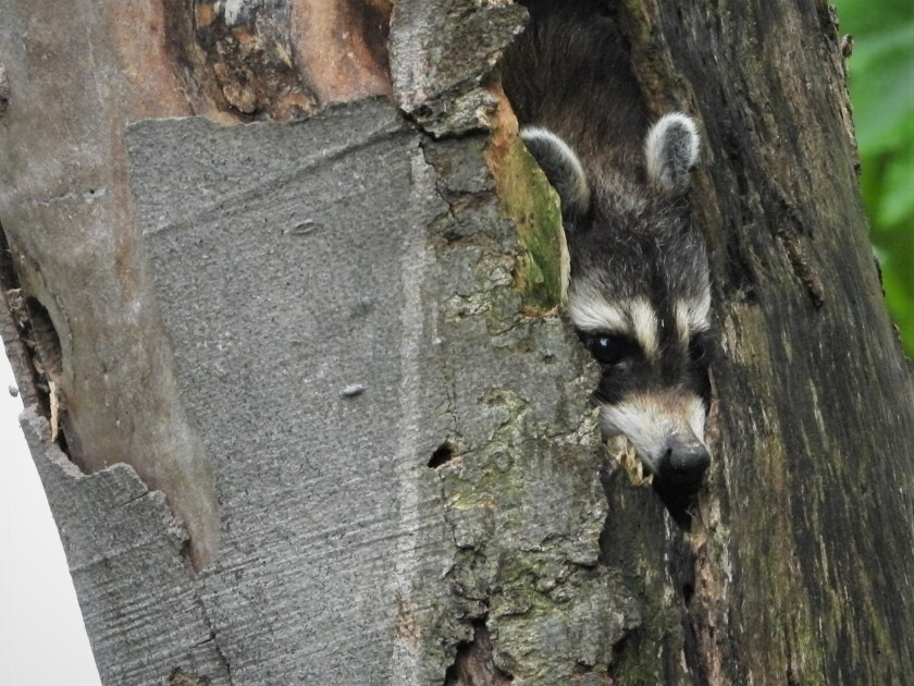A raccoon looks contemplative from inside a tree cavity