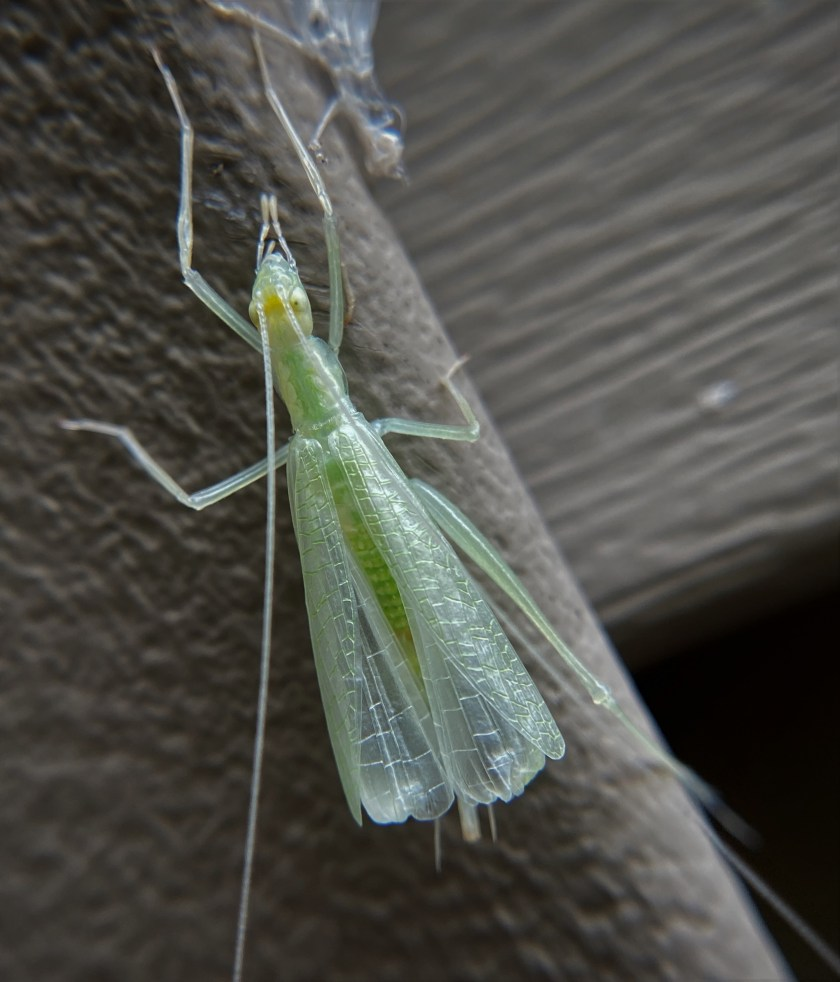 A newly-molted tree cricket clings to the side of a house. It is missing its left-rear leg.It