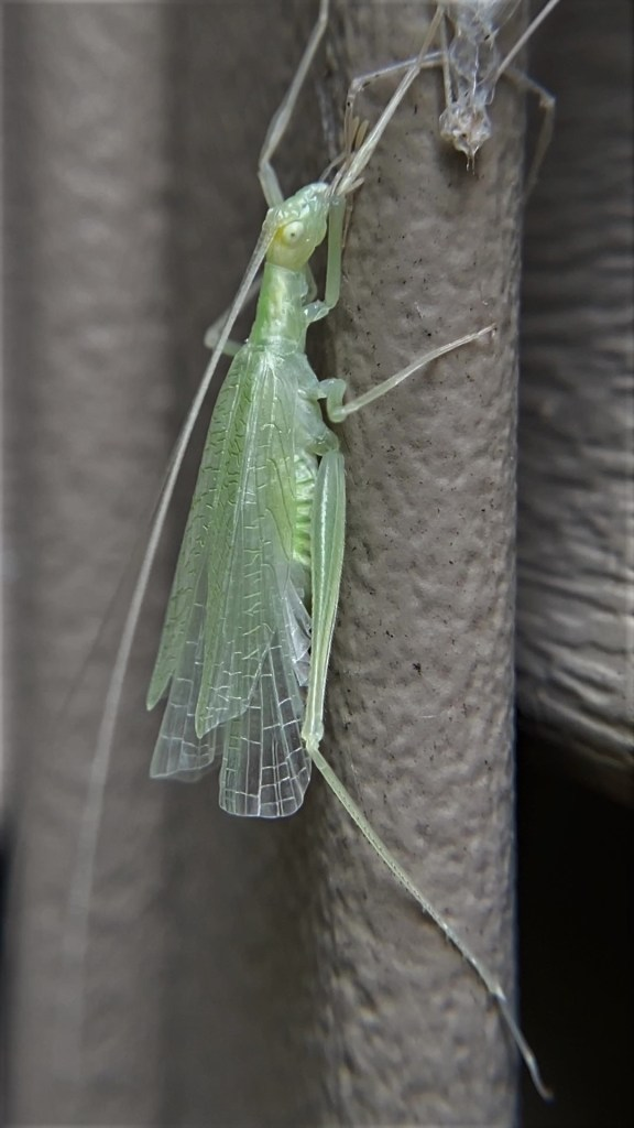 A tree cricket's newly-molted wings are fully open as it crawls toward its shed exoskeleton