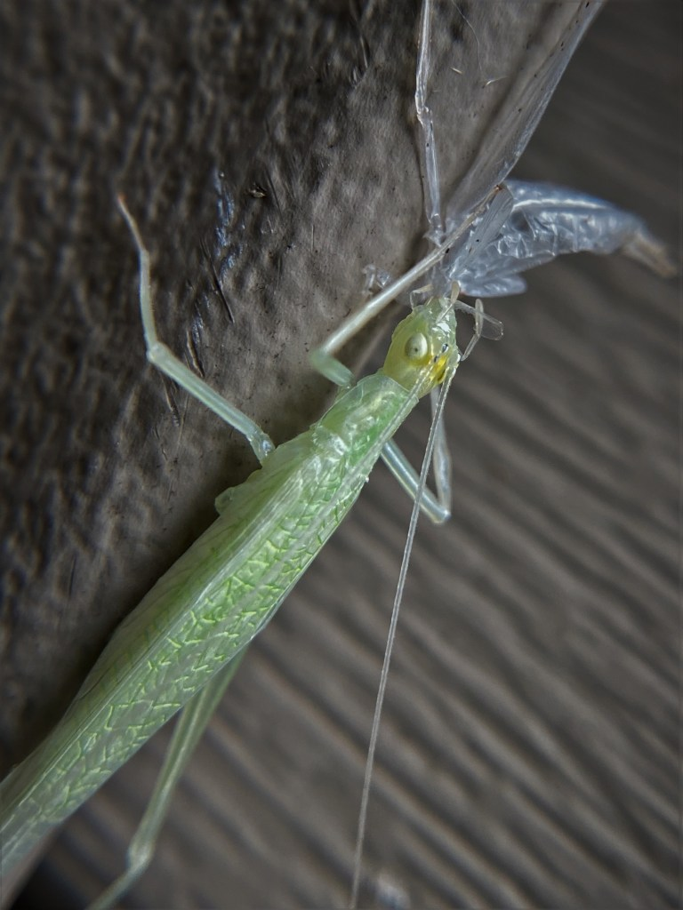A tree cricket eats its exoskeleton. The cricket has just five legs, missing the lower-left limb.