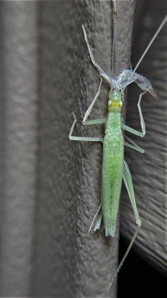 A narrow-winged tree cricket clinging to the side of a house. It eats its exoskeleton, with its ovipositor visible.