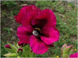 Bumblebee in the garden feeding off an organically-produced geranium.