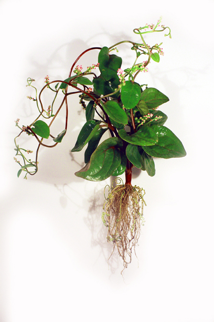 Gold Nano Spinach (Spinacia Aurea Electrica)