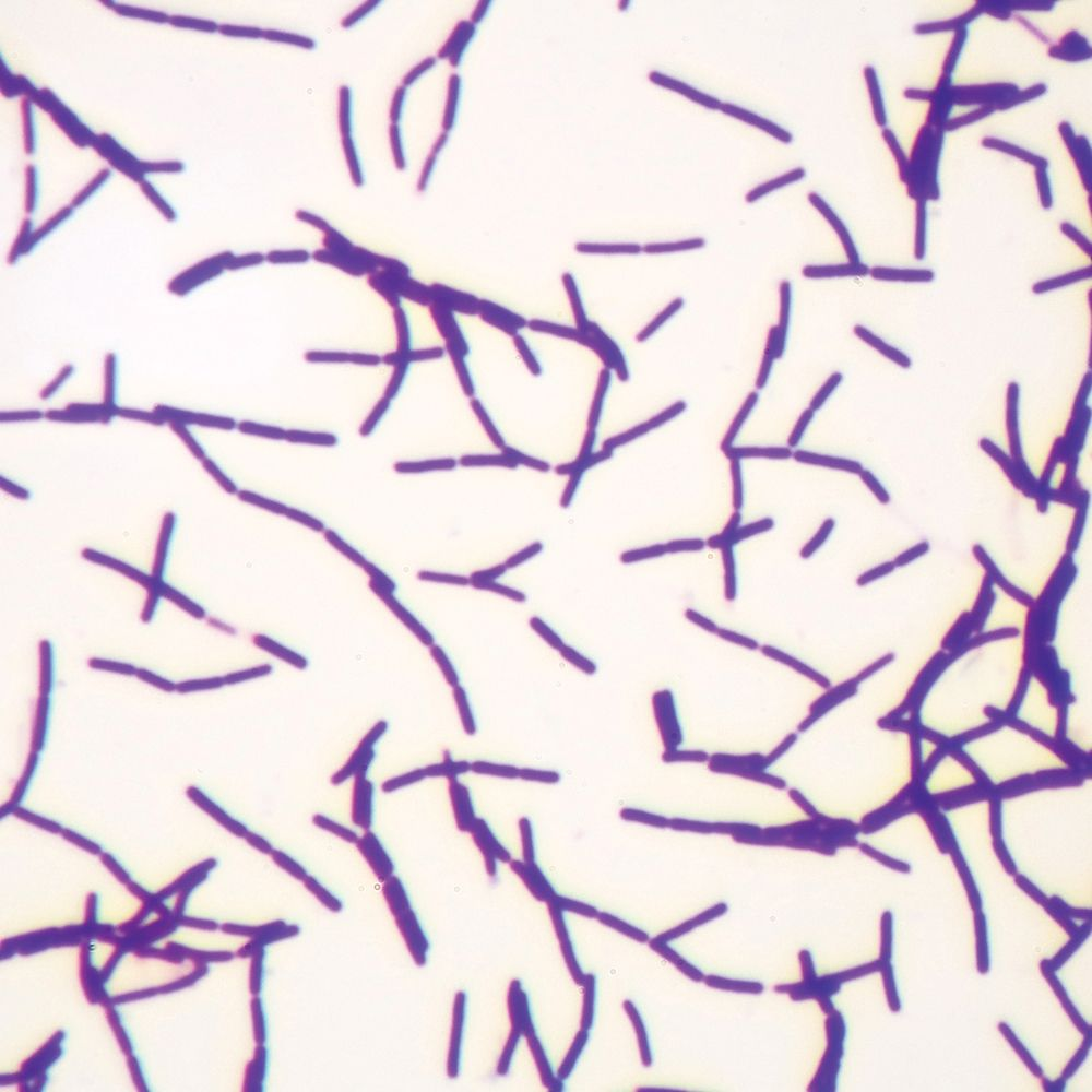 Bacillus Anthracis Bacteria