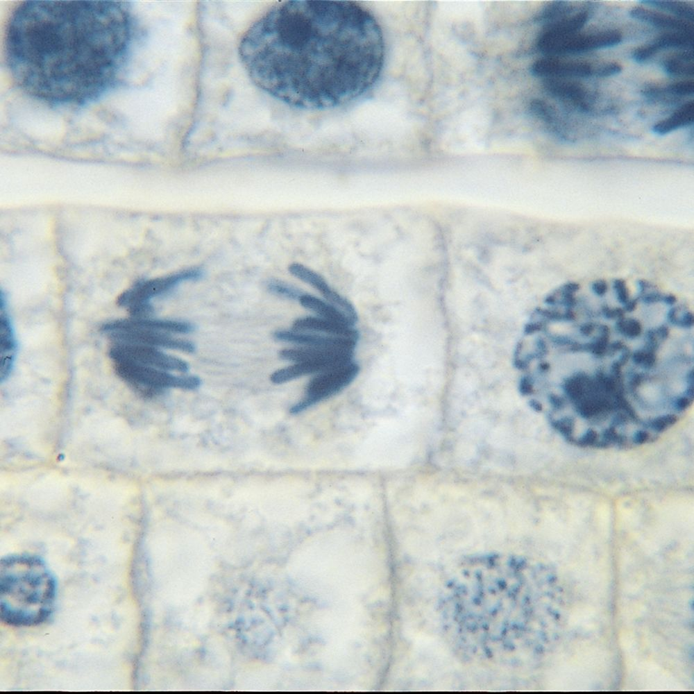 hight resolution of onion mitosis root tip microscope slides