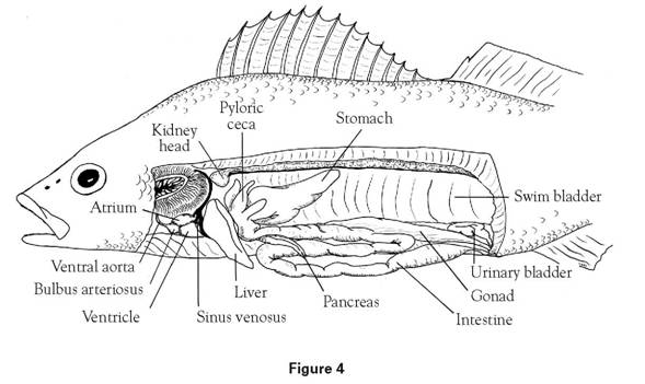 perch fish diagram