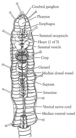Open Versus Closed Circulatory System: Dissection of the