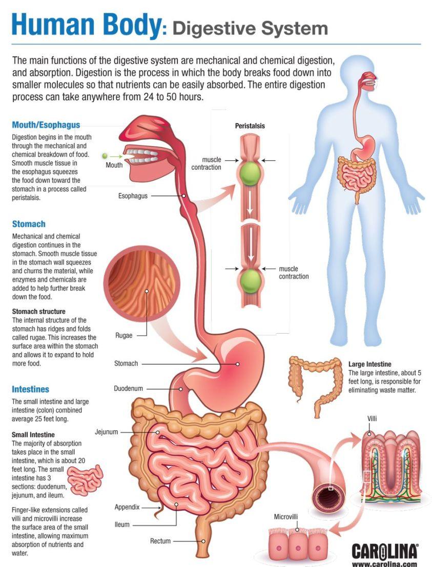 Human Body: Digestive System   Carolina.com