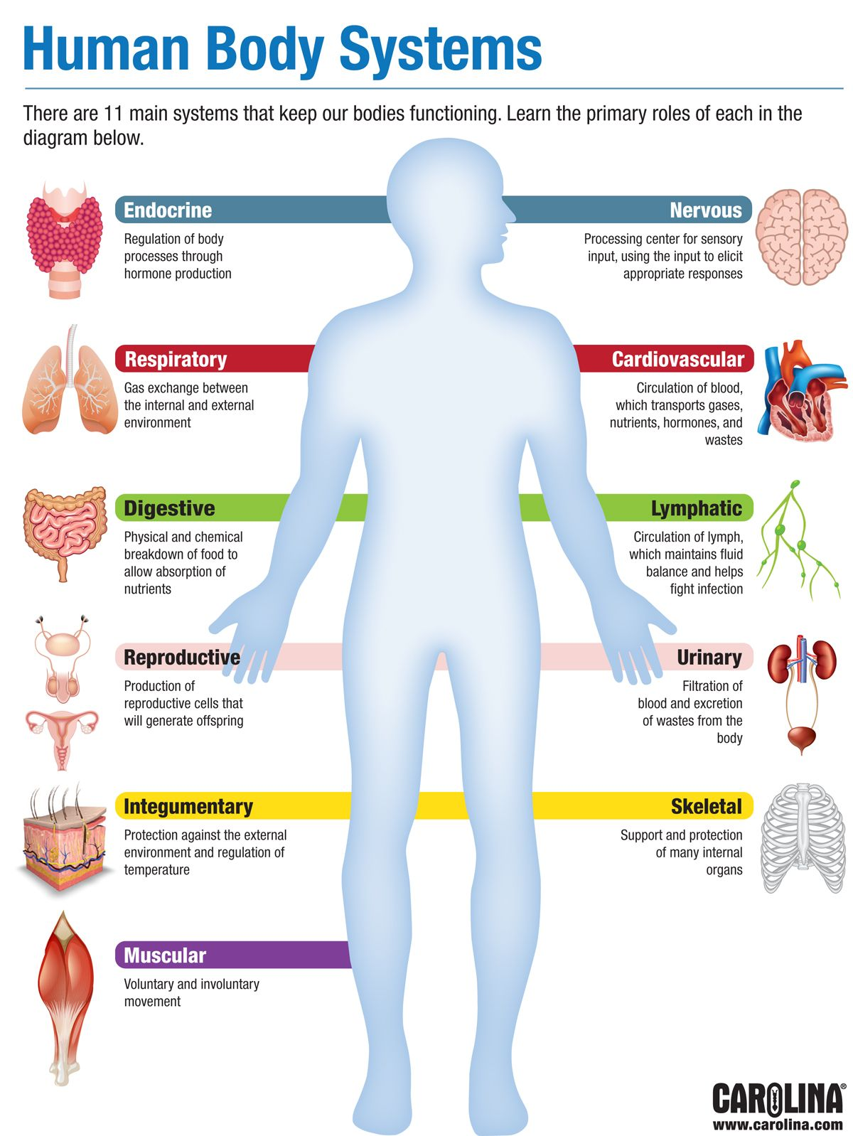 Infographic Human Body Systems