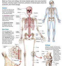 infographic human body skeletal system [ 1000 x 1311 Pixel ]