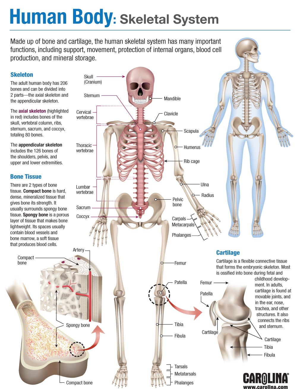 hight resolution of infographic human body skeletal system