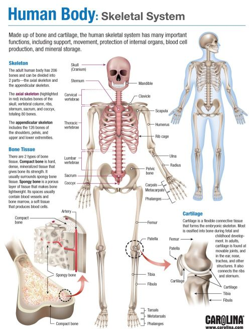 small resolution of infographic human body skeletal system