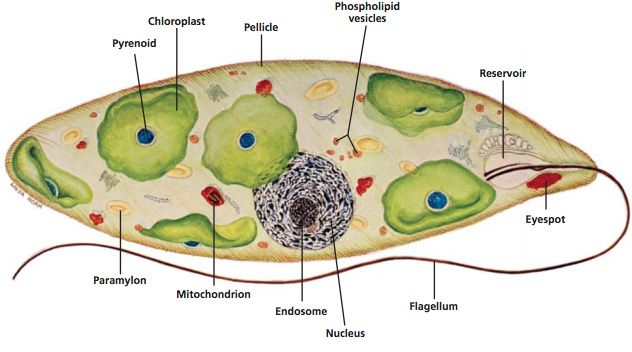 euglena cell diagram with labels battery wiring introduction to protista carolina com sample drawing of a parts labeled