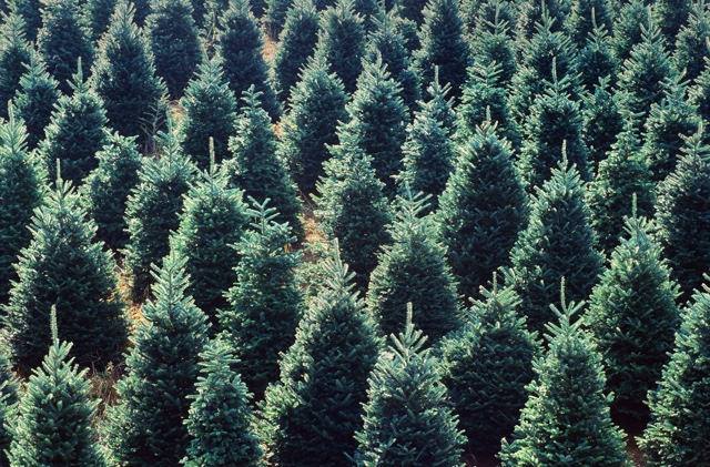 NC Christmas trees - The many tree farms across the state provide over 18% of the live Christmas trees in the US
