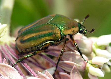https://i0.wp.com/www.carolinanature.com/insects/coleoptera/junebug9537.jpg