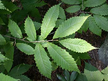 Image result for American chestnut leaves